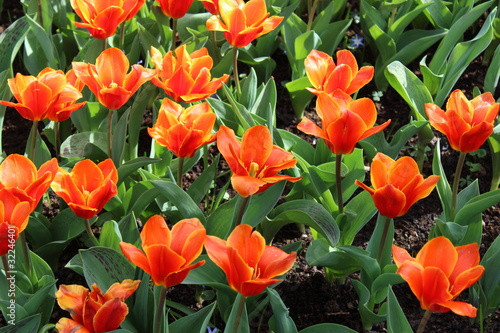 Aluminium Prints Flower shop Orange Tulip