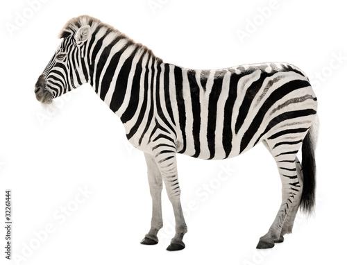 Tuinposter Zebra Prächtiges Zebra auf weißem Hintergrund