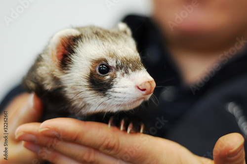 Fotografering  Woman holding ferret