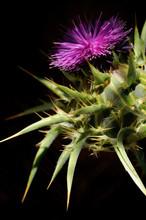 Fleur De Chardon-Marie Sur Fond Noir