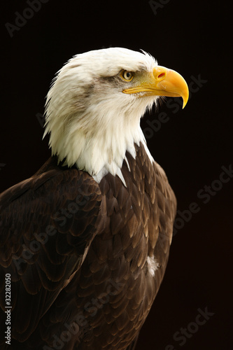 Spoed Foto op Canvas Eagle Portrait of a Bald Eagle