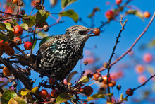 A Spotted Starling Eating Frui...