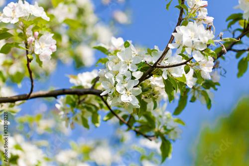 kwitnace-drzewo-wisni