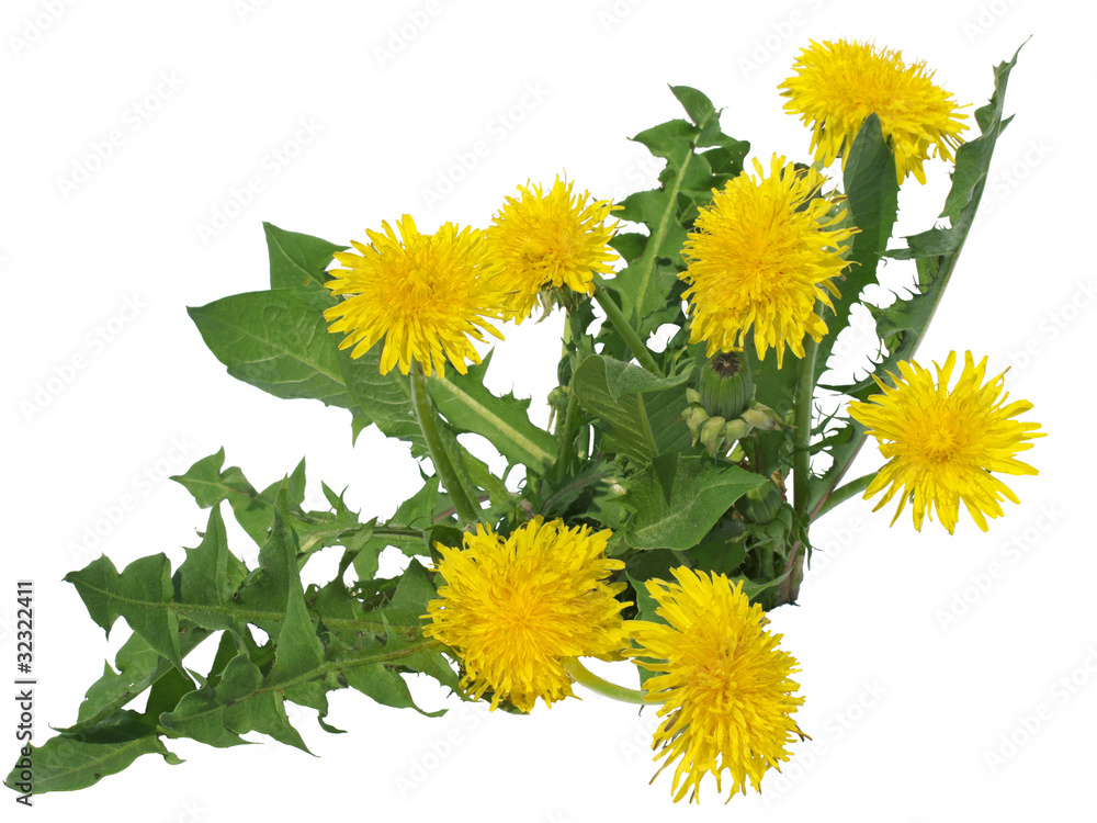 Fototapety, obrazy: Dandelions flowers
