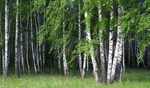 Deurstickers Berkbosje birch grove