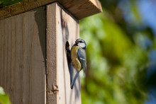 Blue Tit (Cyanistes Caeruleus)...