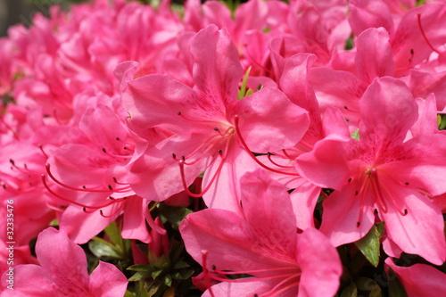 Staande foto Roze ピンクのツツジ