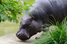 Pygmy Hippo By The Pool