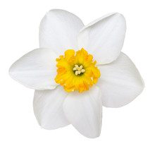 Photo Of A Short Cup Daffodil ...
