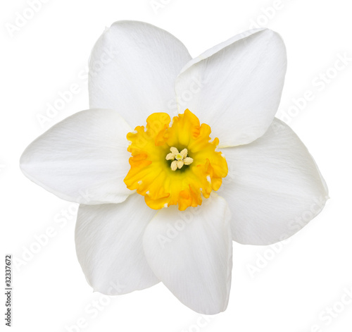In de dag Narcis Photo of a short cup daffodil isolated on a white background