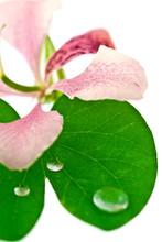 Feuille Et Fleur De Bauhinia