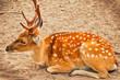 deer sit on sand