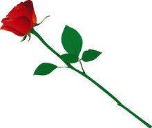 Isolated Long Stem Red Rose