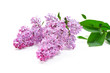 lilac flower on white background
