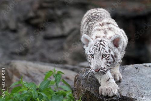 bialy-tygrys-w-trawie