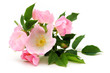 canvas print picture - Dog rose blossom isolated