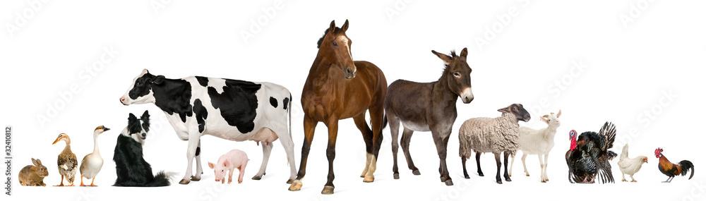 Fototapety, obrazy: Variety of farm animals in front of white background