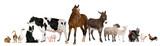 Fototapeta Animals - Variety of farm animals in front of white background