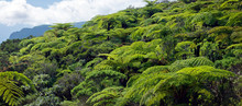 Forêt De Fougères Arborescentes - Ile De La Réunion
