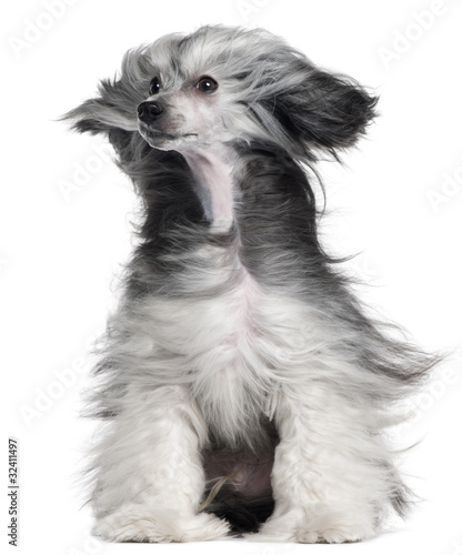 Valokuva  Chinese Crested Dog, 15 months old, with hair in the wind