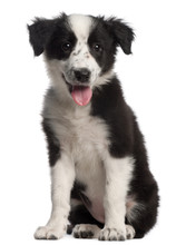 Border Collie Puppy, 3 Months ...