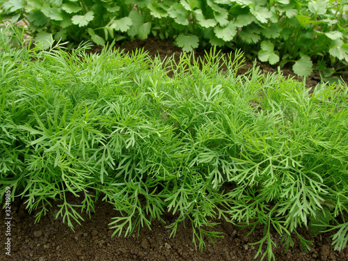Fotografia dill growing on the vegetable bed