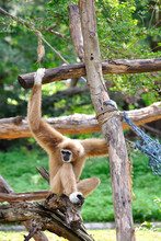 Gibbon Monkey, Khao Kheow Open...