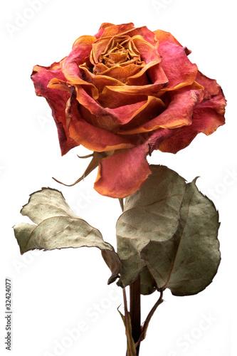 Valokuvatapetti Single dry rose on a white background, isolated