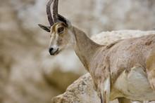 Wild Goat On A Rock In Ein Gedi
