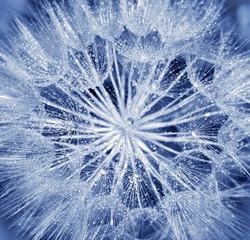 Fototapeta Optyczne powiększenie Soft dandelion flower