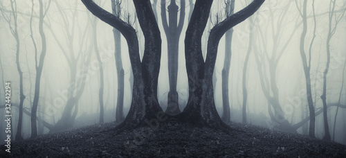 big trees in a mysterious forest with fog after rain