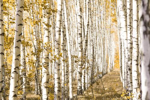 Deurstickers Berkbosje Yellow birches