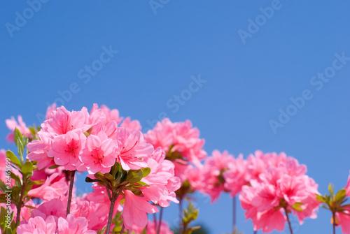 クルメツツジの花と青空