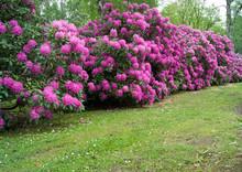 Lila Rhododendronsträucher 2