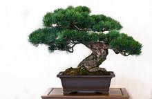 Kiefer (Pinus) Als Bonsai