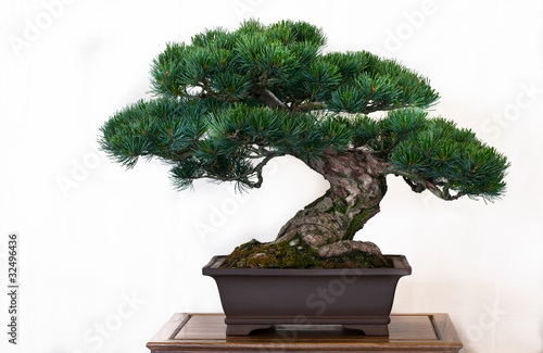 Kiefer (Pinus) als Bonsai