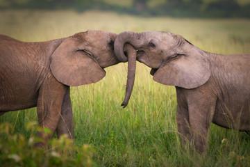 Elephants in love, Masai Mara, Kenya