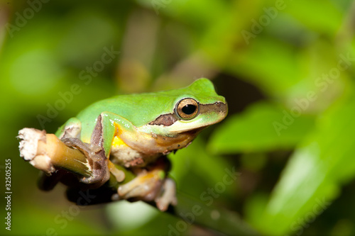 Tuinposter Kikker Tree frog on the leaf (Hyla chinensis)