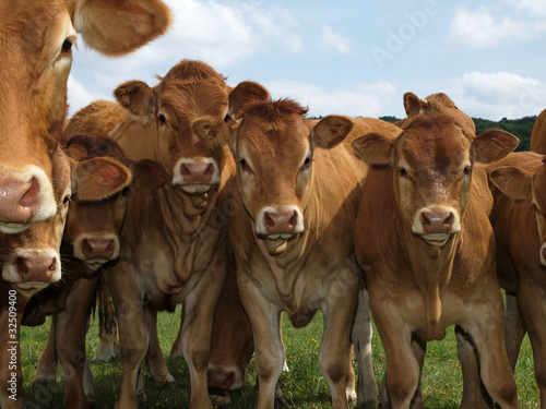 Cadres-photo bureau Vache vaches