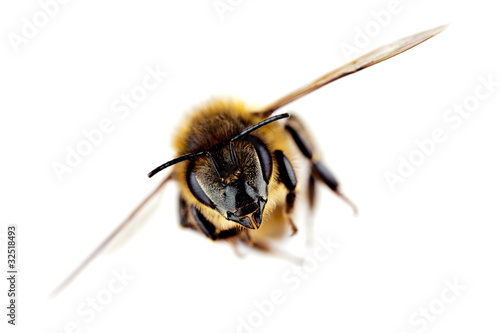 Western honey bee in flight, with sharp focus on its head