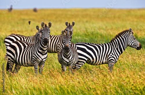 Naklejki zwierzęta zebry-w-serengeti-parku-narodowym-tanzania