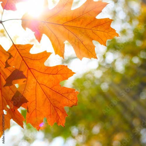 Fototapeta Sun and oak leaves obraz na płótnie