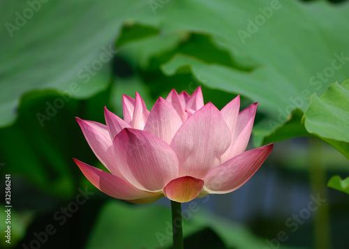 Foto op Aluminium Lotusbloem lotus flower .