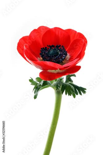 Foto Anemone flower
