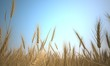 wheat dry summer background
