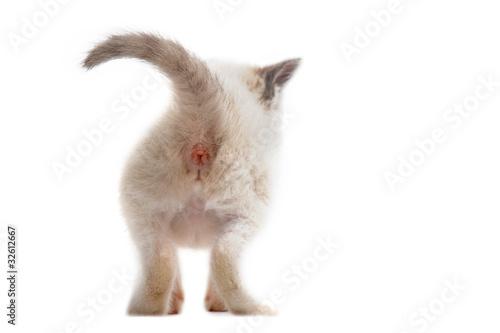 Photo arrière de chaton