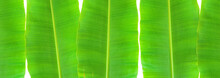 Isolated Banana Leaf On White