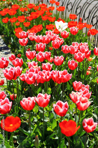 Poster Tulip Plant of red tulips
