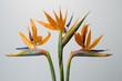 canvas print picture - Paradiesvogelblume / Strelitzia spec. / Strelitzie