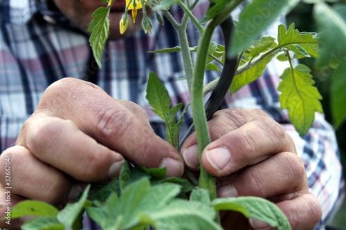Fotografia, Obraz  Gärtner pflegt seine Tomatenpflanzen